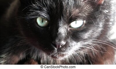 Black panther cat - Close up of a common, european black cat...