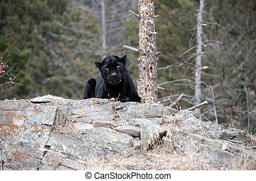 black Panther on rock