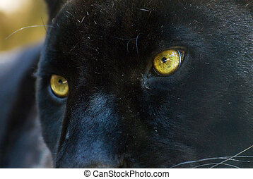 black panther - close-up of a beautiful black panther