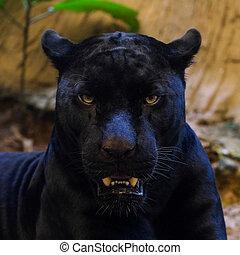 black panther shot close up