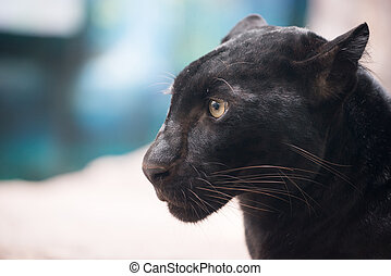 black panther head close up
