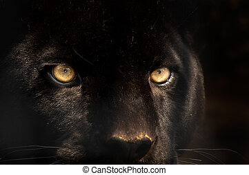 black panther - The eyes of a black panther