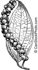 Black pepper or Piper nigrum, vintage engraved illustration. Dictionary of words and things - Larive and Fleury - 1895.