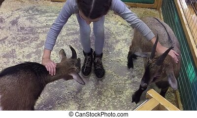 Black pig. Girl playing animal with black pigs in a contact...
