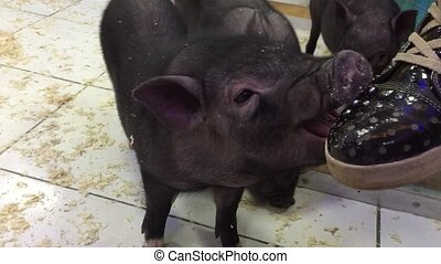 Black pig. Girl playing with black pigs animal in a contact...
