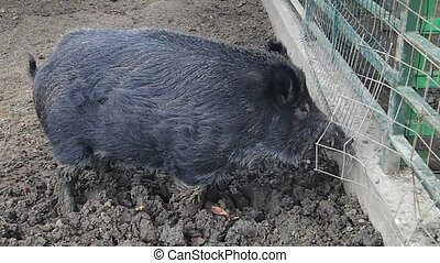 Black pig near a fence - A black wild pig near a fence