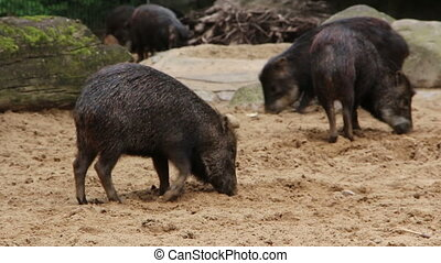 Black pigs using their snout in the dirt - Shot of Black...