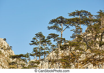 Black pine forests on mountain