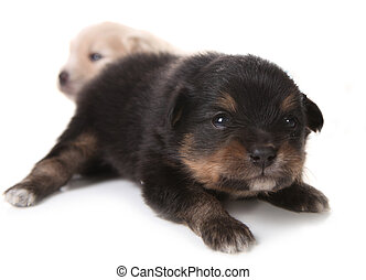 Black Pomeranian Newborn Puppy on White