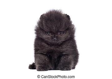 Black Pomeranian puppy on white