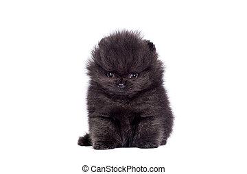 Black Pomeranian puppy on white - Black Pomeranian puppy...
