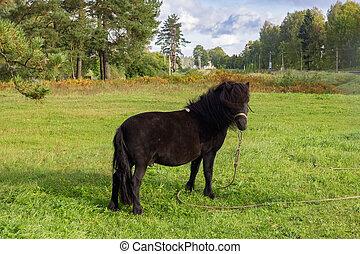 Black pony grazes in a green meadow