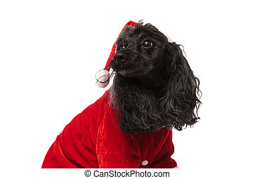 black poodle in christmas clothes looks to side