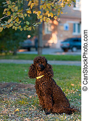 black poodle sitting on the ground