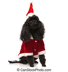 black poodle wearing santa claus clothes looks up