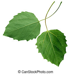 Black poplar Leaf - Hybrid black poplar Leaf isolated on...
