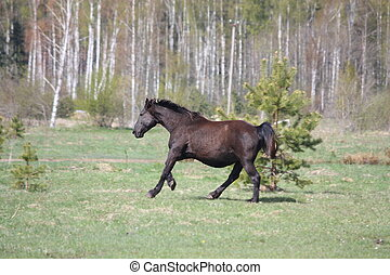 Black pregnant horse galloping at the field in summer