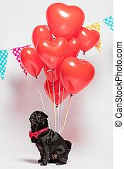 Black pug dog with heart-shaped baloons. - Black pug dog in...