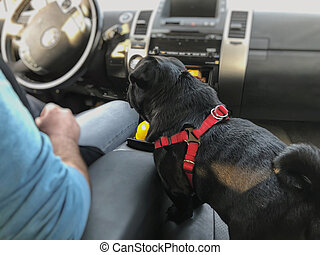 Black pug in the car. Pug sits next to the driver
