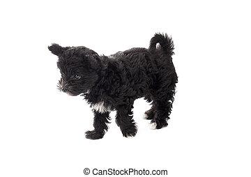 black puppy standing alone