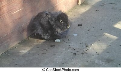 A black rabbit waiting