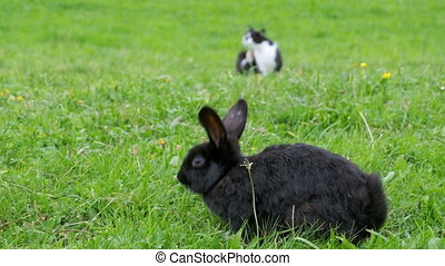 Black rabbit and a cat sitting on the green lawn in the Alpine mountains