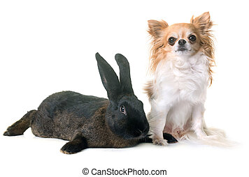 rabbit and chihuahua