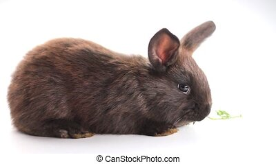 black rabbit eating grass isolated on white background
