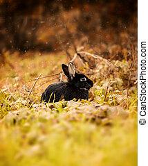 Black Rabbit in autumn - Nice black rabbit photographed in...