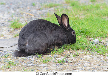Black rabbit in grass - Black rabbit photographed from the...