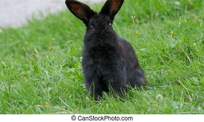 Black Rabbit Sitting on a Green Lawn in the Alpine Mountains