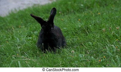 Black Rabbit Sitting on a Green Lawn in the Alpine Mountains...