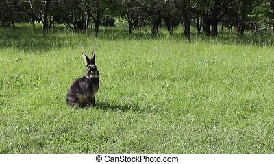 Black rabbit standing on its hind legs and then washes itself