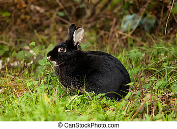 Black Rabbit - Nice black rabbit photographed in the forest.