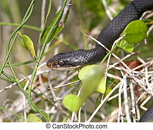 Black Racer - Coluber constrictor