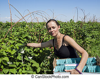 Picking black rasberry growing on the farm.