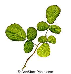 Black raspberry (blackberry) branch isolated on white background