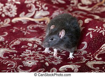 Black rat on a bed