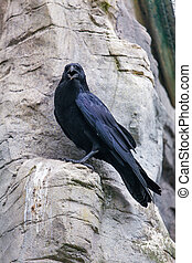 black raven. crow