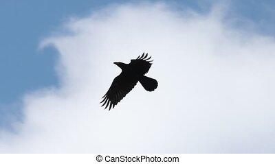 black raven flies through the blue sky slow motion, wildlife