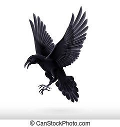 Black raven on white background - Aggressive black raven...