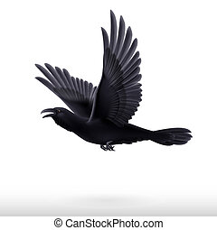 Black raven on white background - Flying black raven...