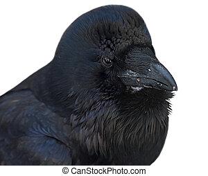 Black raven.