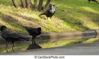 Black ravens bathing in puddle. Sunny day in Bangkok,...