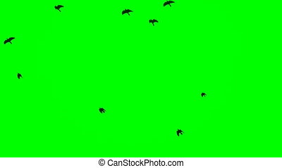 Black ravens flying on top over the head Chroma Key footage...