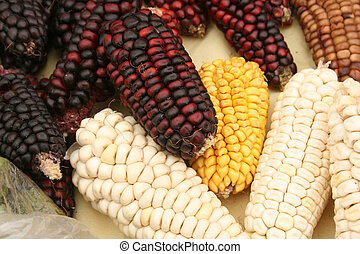 Cobs of corn in a variety of colors for sale at a outdoor food market in Cotacachi, Ecuador