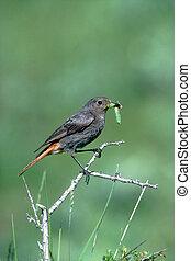 Black redstart, Phoenicurus ochruros