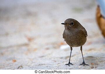 Black redstart, Phoenicurus ochruros, single female bird