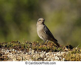 Black redstart, Phoenicurus ochruros, single female on ground, Spain, January 2020