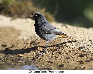 Black redstart, Phoenicurus ochruros, single male by water, Spain, January 2020
